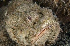 Scuba diving lembeh indonesia devil scorpionfish Stock Photo