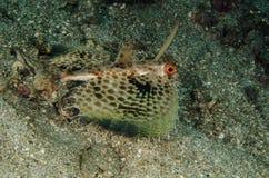 Scuba diving lembeh indonesia juvenile helmut gurnard Stock Photography