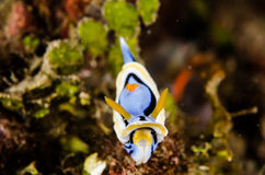 Scuba diving lembeh indonesia nudibranch chromodoris annae underwater Royalty Free Stock Photos