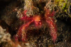 Scuba diving lembeh indonesia red hairy crab Stock Photography