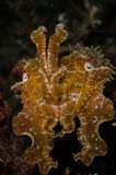 Scuba diving lembeh indonesia sepia papuensis underwater Royalty Free Stock Image