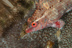 Scuba diving lembeh indonesia underwater red fish Stock Photos