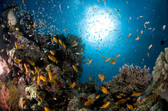Scuba diving, Lion fish, coral reef, fish, marine life. Colourful coral reef in the red sea in egypt, Dendronephthya, Lion fish Royalty Free Stock Photo