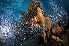 Scuba diving, Lion fish, coral reef, fish, marine life Stock Photo