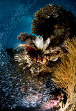 Scuba diving, Lion fish, coral reef, fish, marine life Royalty Free Stock Photos