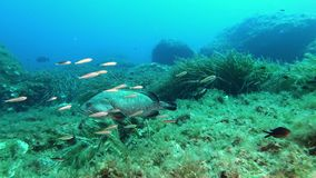 Scuba diving in Majorca - grouper fish swimming in a Mediterranean sea reef