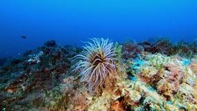Mediterranean sea underwater anemone