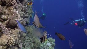 Scuba diving near school of fish in coral reef relax underwater Red sea. Video about marine nature on background of beautiful lagoon stock video footage