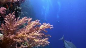 Scuba diving near school of fish in coral reef relax underwater Red sea. Video about marine nature on background of beautiful lagoon stock video