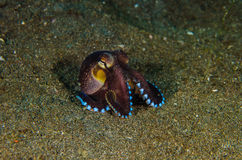 Scuba diving octopus lembeh strait indonesia underwater Stock Image