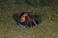 Scuba diving octopus lembeh strait indonesia underwater stock image