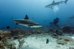 Scuba diving photographer films several Reef sharks Carcharhinus amblyrhynchos Royalty Free Stock Images