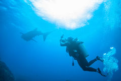 Scuba diving photographer with whale shark in north andaman royalty free stock photography