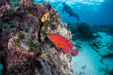 Scuba diving with red grouper Stock Photo