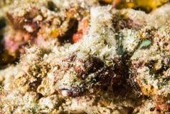 Scuba diving scorpionfish bunaken indonesia underwater Stock Images