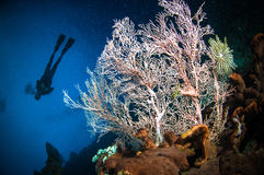 Scuba diving seafan bunaken sulawesi indonesia melithaea underwater. Photo Stock Image