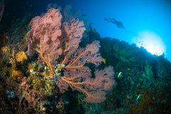 Scuba diving seafan bunaken sulawesi indonesia underwater melithaea. Scuba diving seafan bunaken sulawesi indonesia underwater photo melithaea Royalty Free Stock Photography