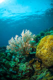 Scuba diving seafan bunaken sulawesi indonesia underwater melithaea Stock Image