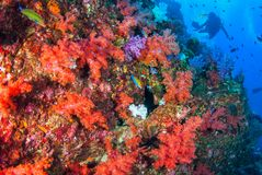 Scuba diving with soft coral in South Andaman, Thailand royalty free stock photography