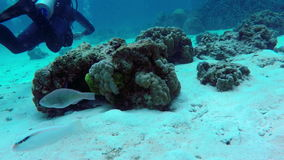 Scuba diving. View of fishes, corals and diver stock video