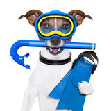 Scuba dog. With tins snorkel and goggles stock photography
