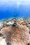 Scuba-duiker en koralen Stock Afbeelding