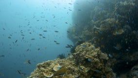 Scuba-duiker onderwater met vissen en koraalrif stock footage
