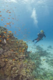 Scuba-duiker op een koraalrif royalty-vrije stock foto