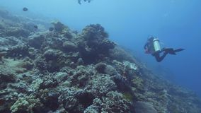 Scuba-duikers die onderwater blauwe overzees onder koraalrif en vissen zwemmen Overzeese duik stock footage
