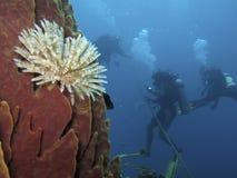 Scuba-duikers en buisworm Stock Fotografie
