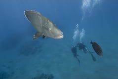 Scuba-duikers en napoleon. Stock Fotografie