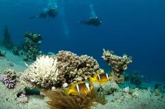 scuba för dykareenemonefisk Royaltyfria Bilder