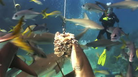 Scuba shark feeding show. The divers, sharks