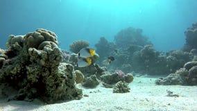 Scuba-uitrusting, Onderwater, de koralen en de vissen stock footage
