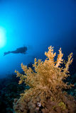 Scubadiver die met koraal duikt Royalty-vrije Stock Fotografie