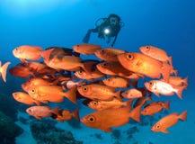 SCUBAdykare en shool av den ljusa röda fisken arkivbild