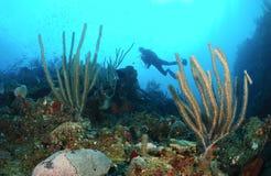 Scubadykare och korallrev Arkivfoto