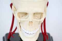 Scull Stock Images