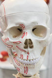 Scull. Model of scull with muscle attachments Stock Image