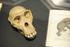 Scull do macaco no museu Fotografia de Stock Royalty Free