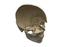 Scull humano Foto de archivo libre de regalías