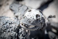 Scull of a Marine Iguana Galapagos. With large white teeth royalty free stock images