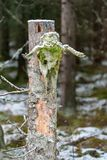 Scull od łosia obwieszenia na drzewie obrazy stock