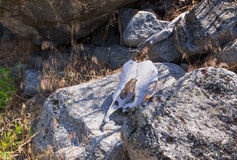 Scull on the stone Royalty Free Stock Images