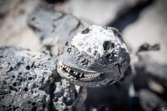 Scull van Marine Iguana Galapagos royalty-vrije stock afbeeldingen