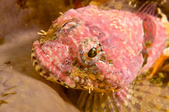 Sculpin Royalty Free Stock Photography