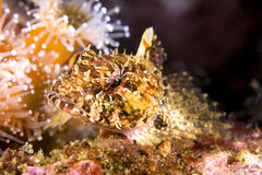 Sculpin Royalty Free Stock Photos