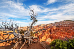 Sculptural dormant tree in Bryce Canyon National Park. Stock Images
