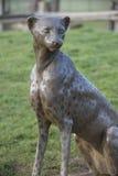 Sculpture of Cheetah. Bronze sculpture of Cheetah, displayed at Whipsnade Zoo, UK Royalty Free Stock Image