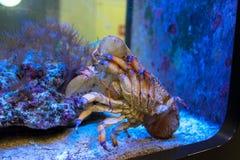 Sculptured slipper lobster Parribacus antarcticus royalty free stock photos
